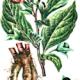 Mern - Belladonna rod